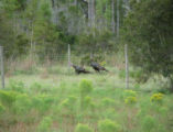 Wild turkeys at Cape Lonesome Ranch