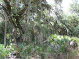 Spanish moss hanging on the trees