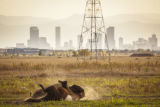 Bison rolling in dirt at refuge with Denver in background