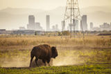 Bison at Rocky Mountain Arsenal National Wildlife Refuge
