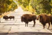 Bison on road at Rocky Mountain Arsenal National Wildlife Refuge