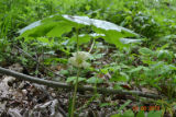 Mayapple in bloom on Dupont Tract