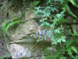 Northern Wild monkshood on talus surface