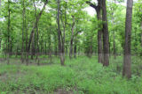 Bottomland hardwood forest adjacent to Ouachita River