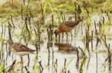 Short-billed Dowitcher and Lesser yellowlegs