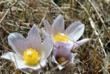 Flowering Crocus on grass easement