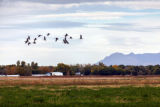 Geese in flight over Valle de Oro