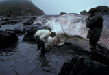 Beached sperm whale at Inner Rock on Buldir Island