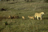 African lion with cubs