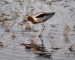 American avocet in wetland