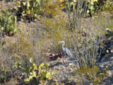 Great Blue Heron in the desert