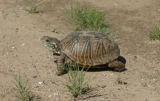 Ornate box turtle in the desert