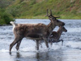 Caribou crossing the Kanektok River