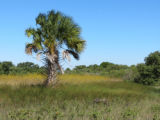 Palm tree at Cedar Keys National Wildlife Refuge