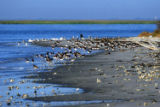 American oystercatchers at Wolf Island National Wildlife Refuge