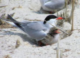 Common tern and chick