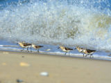 Sanderlings at Holgate beach