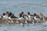 American oystercatchers, Marbled Godwits and Dowitchers