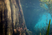 Bald cypress roots in Florida pond