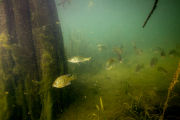 Sunfish congregate near bald cypress roots