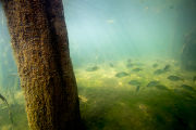 Redear sunfish gather near cypress roots