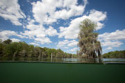 Bald cypress scenics in spring fed lake