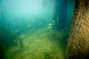 Fish congregate in Bald cypress roots
