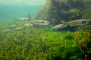 Striped mullet school swims over vegetation