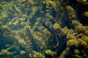 Male bowfin hides in vegetation