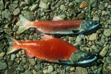 Male and Female Red Salmon or Sockeye Salmon Specimens