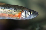 Rosyside dace
