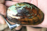 Nasal speculum inserted into a Eastern lampmussel