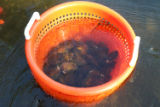 Freshwater mussels in laundry baskets