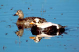 Spectacled eiders