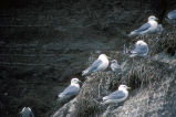 Black-legged kittiwakes and young nesting on cliff edge