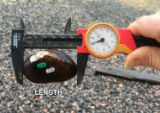 Measuring shell length