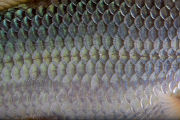 Close up of Sicklefin Redhorse scales