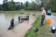 Hatchery staff checking for channel catfish