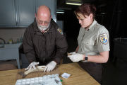 FWS biologists collect blood from a grass carp