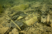 Bluegill on nest