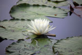 White water lily blossom