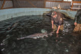 Hatchery worker releases paddlefish