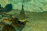 Black Bullhead catfish