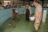 Hatchery workers spawn Endangered pallid sturgeon