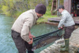 USFWS Fisheries workers prepare to move Lake sturgeon