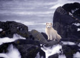 Pribilof Island Oil Spill, M/V Citrus 1996 Arctic Fox scavenges for carcasses (Album)