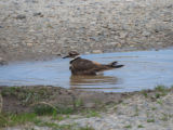 Killdeer splashing in a puddle
