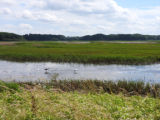 Shorebirds in the wetland at Bombay Hook National Wildlife Refuge