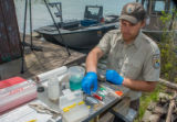 USFWS fisheries worker prepares to insert transmitter in lake sturgeon
