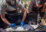 USFWSFisheries worker performs procedure to implant transmitter in lake sturgeon